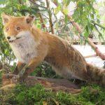 Fuchs Jagd und Fischereitage Ellingen